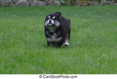 Alusky Puppy Dog Running at Full Speed - Cute alusky puppy...