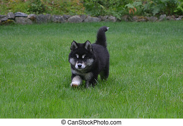 Precious Alusky Puppy Dog Trotting Through Grass - Prancing...