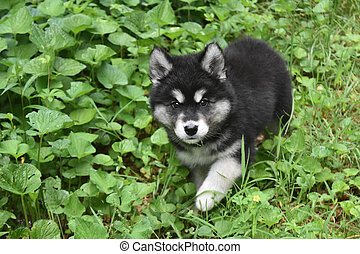 Beautiful Alusky Puppy Peaking out of Green Foliage - Very...