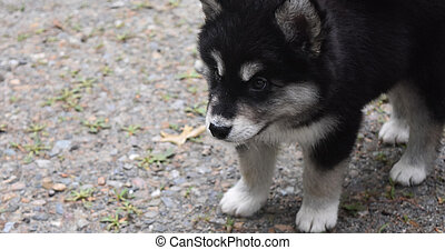 Concern on the Face of an Alusky Puppy - Sweet concerned...