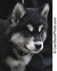 Gorgeous EIght Week Old Alusky Puppy Dog - Really sweet face...