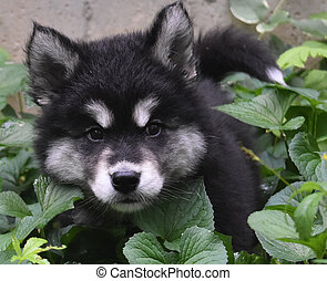 Fluffy Alusky Puppy Hiding in a Green Garden - Amazing...