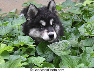 Precious Fluffy Alusky Puppy Dog in Green Foliage - Fluffy...