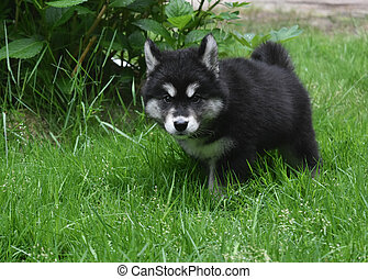 Adorable Fluffy Alusky Puppy in Tall Green Grass - Fluffy...