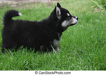 Side View of a Two Month Old Alusky Pup - Side view of a...