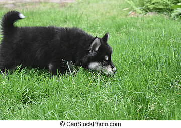 Small Alusky Puppy Sniffing in the Grass for Frogs - Cute...
