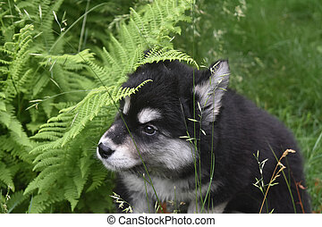 Alusky Puppy Playing Hide and Seek in Ferns - Alusky puppy...