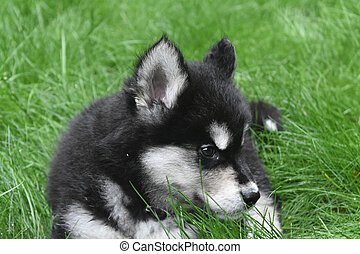 Resting Two Month Old Alusky Puppy Dog in Grass - Two month...