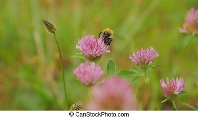 Close up view of bumble-bee on red clover flower, slow...