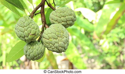 custard apple fruit - close up custard apple fruit