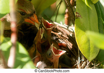 Female cardinal bird brings food to the nest to feed her...