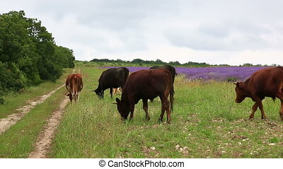 Cows walk along a rural road - Cows and bullheads go along a...