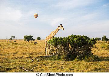 giraffe eating tree leaves in savannah at africa - animal,...