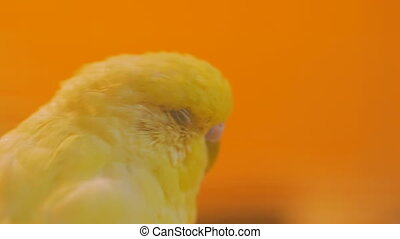 Yellow parrots swing on the seesaw - Close up shot of head...