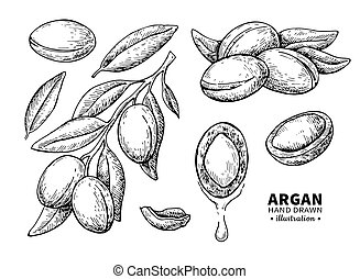 Argan vector drawing. Isolated vintage illustration of nut....