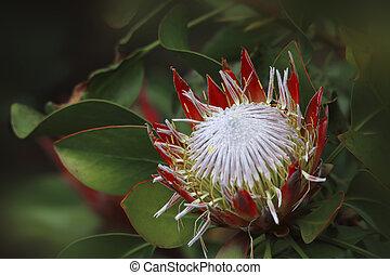Protea Sugarbush Proteaceae - Beautiful native plant, Protea...