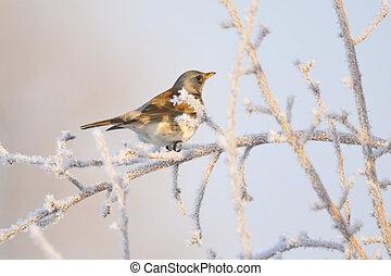 Fieldfare in winter.