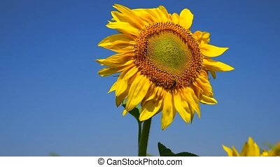 Bee sits on a yellow flower of a sunflower against a clear...