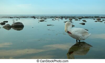 Swans at the sea landscape - Swans in the sea landscape