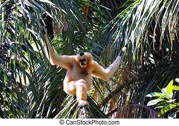 Female Northern White-Cheeked Gibbon - Nomascus leucogenys