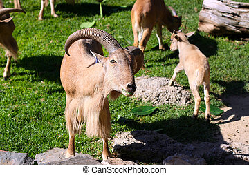 Herd of Barbary Sheep eating leaves Ammotragus lervia at...