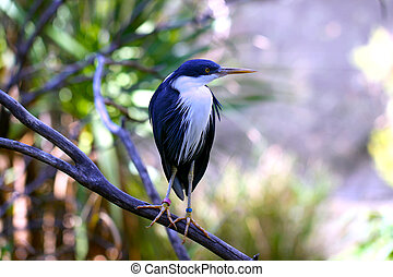 Pied Heron, also called Pied Egret, Native bird of Australia...