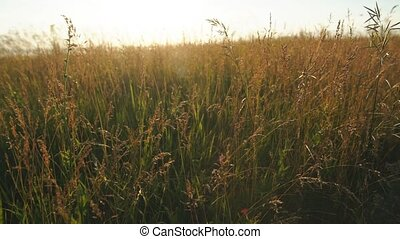 backdrop of ripening ears of yellow wheat field on the...