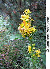 European goldenrod or woundwort (Solidago virgaurea) in...