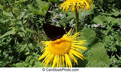 Yellow flower and butterfly, Flower elecampane, - Flower...