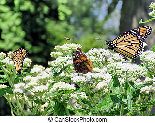 Monarch butterflies and Red Admiral in garden on bank of the...