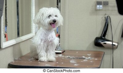 Healthy white maltese. Friendly dog indoor. Ancient breed of...