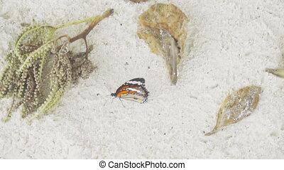 Monarch butterfly on sandy beach - Monarch butterfly -Danaus...