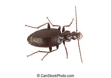 Ground beetle (Limodromus assimilis) on a white background -...