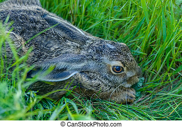 Close up frightened grey rabbit sits in grass - Closeup grey...