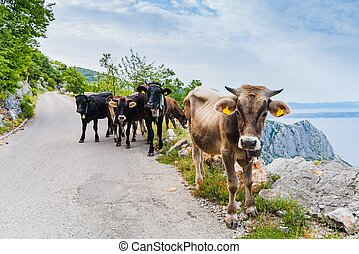 Cows on mountain road. Sveti Jure mountain, Biokovo, Croatia