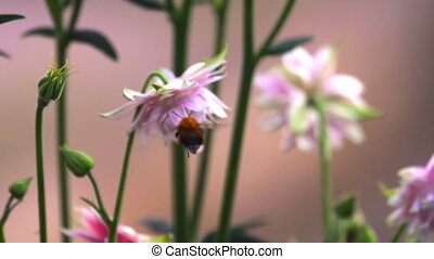 Bumblebee at Pink decorative aquilegia flowers, slow motion