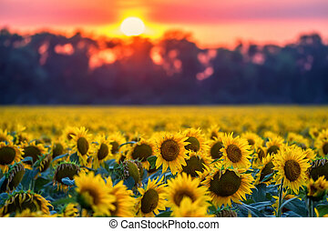 Field of sunflowers during sunset - Scenic sunset with...