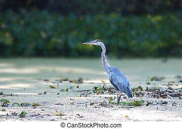 Tall blue heron bird hunting in the lake
