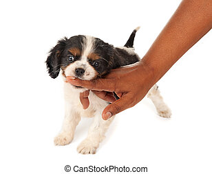 Little biter - 7 weeks old King Charles spaniel puppy biting...