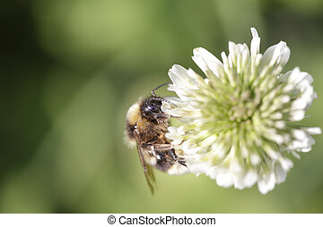 Bumblebee sucking pollen from a white flower - Macro of a...