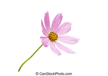 Pink cosmea on a white background