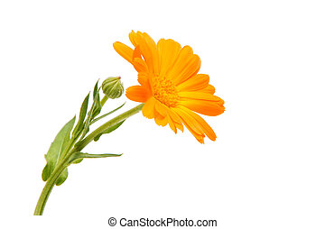 Marigold isolated on white background