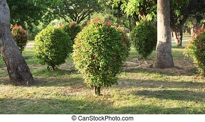 Ornamental Clipped Deciduous Shrub in tropical park stock...