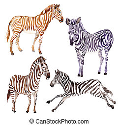 Exotic zebra wild animal in a watercolor style isolated.