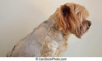Dog care, close-up - Yorkshire terrier combing and doing...