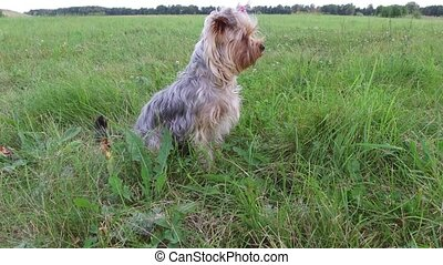 Yorkshire Terrier pet Dog sitting on the grass steadicam...