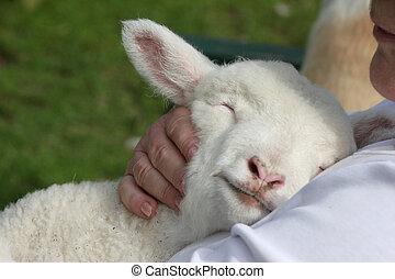 Lamb snuggling in - Cute orphan white lamb snuggling in...
