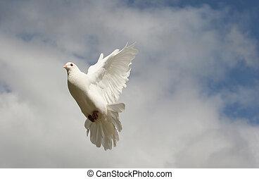 White dove in flight - Beautiful white dove in flight