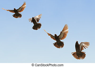 Beautiful pigeon in flight - Composite image of a beautiful...