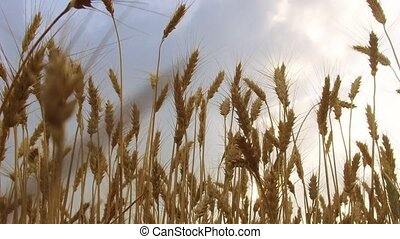Wheat Field Caressed by Wind Crane Shot NAture Background...